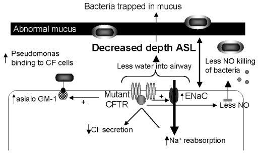 Impact of mutant cystic fibrosis transmembrane conductance regulator (CFTR) on cellular physiology. Mutant CFTR promotes initial bacterial infection by upregulating epithelial cell adhesion molecules for bacteria such as asialo-GM1 and by decreasing production of innate host defense molecules such as nitric oxide (NO). Defects in CFTR also lead to increased sodium absorption through the epithelial sodium channel (ENaC) and decreased chloride secretion. Water follows its concentration gradient and results in decreased depth of airway surface liquid. Bacterial persistence is promoted by alterations in airway wall architecture, impaired host defense mechanisms, an excessive inflammatory response, and adaptations made by the bacteria to the microenvironment of the cystic fibrosis airway.