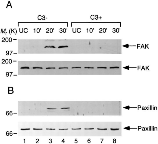 Effect of C3 on S. flexneri invasion-induced tyrosine phosphorylation of FAK and paxillin in CHO cells. The CHO cells were  treated with C3 (1.25 μg/ml) (lanes 5–8) or left untreated (lanes 1–4) for  24 h and then infected by YSH6000T. Samples are from uninfected cells  (lanes 1 and 5), from cells infected for 10 min (lanes 2 and 6), 20 min  (lanes 3 and 7), and 30 min (lanes 4 and 8). Numbers to the left indicate  the positions of molecular weight standards. Cell lysate proteins were immunoprecipitated with anti-FAK mAb 2A7 (A) or anti-paxillin mAb 347  (B), separated on a 10% SDS-PAGE, transferred to nitrocellulose, and  probed with anti-phosphotyrosine mAb PT-66 (A and B, top), anti-FAK  mAb 2A7 (A, bottom) or anti-paxillin mAb 347 (B, bottom).