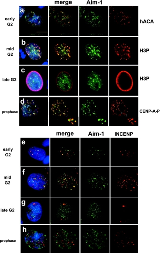 Aurora B and INCENP distribution in G2 and prophase. Aurora B kinase associates with centromeres during G2 and M. Immunofluorescence with anti–Aim-1 (Aim-1/Aurora B, green) and DAPI (DNA, blue). (a) Early G2 cells with hACA to detect centromeres (red), demonstrating that Aurora B associates with centromeres well before mitosis. (b) Mid G2 cells show clear colocalization of Aurora B and H3P-positive pericentric heterochromatin (red). (c) Late G2 cells with general distribution of Aurora B throughout the nuclei, at a time when H3P signal is present throughout the chromatin (red). (d) Prophase cells (with visible chromosome condensation judged by DAPI staining) with anti–CENP-A-Ser7P (red), showing that Aurora B associates with centromeres when CENP-A phosphorylation begins. Insets show that anti–CENP-A-Ser7P stains kinetochores, whereas Aurora B is detected in the inner centromere domain. (e) Early G2 cells show more Aurora B signals (green) than INCENP signals (red), with partial colocalization. (f) Mid G2 cells show more Aurora B signals, with an increase in INCENP signals and partial colocalization. (g) Late G2 cells with general distribution of Aurora B, and less INCENP signal in very few, larger foci. (h) Prophase cells with Aurora B distributed as in panel d, but INCENP does not colocalize with Aurora B concentrations at centromeres (yellow color would indicate overlap). Bar, 10 μm.