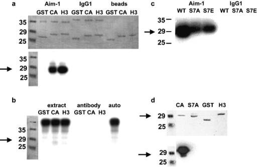 Aurora B phosphorylates the NH2 termini of histone H3 and CENP-A in vitro. Arrows indicate the migration of CENP-A–GST. (a) Immunoprecipitated Aurora B phosphorylates both H3 and CENP-A NH2 termini expressed as GST fusions. Top, representative Coomassie stain of SDS-PAGE. Lower bands are GST alone or fused to the NH2 terminus of either H3 or CENP-A; upper bands are antibody light chain, either anti–Aim-1 or control isotype-matched mouse IgG1. Also shown are mock reactions where GST fusions were mixed with the protein G sepharose beads used in immunoprecipitation. Bottom, autoradiogram of the same gel. Aurora B clearly phosphorylates the H3 and CENP-A NH2 termini. No signal is seen in either of the negative controls when the Aurora B antibody is not present. (b) Aurora B immunoprecipitation significantly concentrates the Aurora B kinase activity. Whole extract mixed with GST fusions does not result in phosphorylation of CENP-A or H3 NH2 termini (extract), and the Aurora B antibody alone contains no kinase activity (antibody). Whole extract alone allowed to autophosphorylate does not reveal CENP-A or H3 bands (auto). (c) Ser7 is a target Aurora B phosphorylation site in the CENP-A NH2 terminus. Aurora B immunoprecipitations were mixed with the CENP-A NH2-terminal GST fusion (WT), or site-directed mutants of this construct (S7A and S7E). CENP-A phosphorylation is reduced 50% by mutation of Ser7; however, it is not abolished. Immunoprecipitation with an irrelevant antibody (mouse IgG1) is negative. (d) Mutation of CENP-A Ser7 abolishes reactivity with the anti–CENP-A-Ser7P antibody. GST fusion proteins were incubated with immunoprecipitated Aurora B in the presence of cold ATP before Western blotting. Top, ponceau stain; bottom, Western blot. Only wild-type CENP-A reacts positively with the Ser7P antibody. There is no cross-reaction with GST or the NH2 terminus of H3, and mutation of Ser7 to alanine (S7A) or glutamate (S7E; unpublished data) abolishes reactivity.