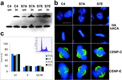 "Expression of CENP-A Ser7 mutants in HeLa cells. (a) Western blot with sequential detection using two antibodies: 12CA5 to detect the epitope tag (HA), followed by hACA to detect endogenous CENP-A. C4 cells are epitope-tagged wild-type; S7A-8 and S7E-4 are representative mutant cell lines. Cells were collected either uninduced (""un"") or induced for 24 h by removal of tetracycline (""in""). (b) CENP-A mutant cell lines have normal kinetochore and spindle structure. Interphase (top) and mitotic cells (second row) with DNA (DAPI, blue), epitope tag (anti-HA, green), and centromeres (hACA, red). Bottom two rows, anti–CENP-C (red) and anti–CENP-E (red), respectively, with DAPI (DNA, blue) and antitubulin (green). (c) CENP-A mutant cell lines have normal cell-cycle profiles. DNA was detected with propidium iodide and analyzed by flow cytometry (representative profile shown as inset). TTA is the parental cell line with no epitope tag, C4 is wild-type epitope–tagged CENP-A, and S7A and S7E are each averaged values for two independent cell lines (S7A-8, S7A-18, S7E-4, and S7E-12). All cell lines appear to be similar within the standard deviation of five independent experiments (error bars). Bar, 10 μm."