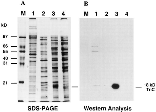 Western blot identification of troponin C from a worm extract and bacterial expression. Protein fractions were separated on 10–20% gels and either stained with Coomassie brilliant blue (A) or transferred to nitrocellulose for indirect probing with anti–Ascaris-troponin C antiserum (B). Protein fractions are the immunotransfers contained in a total protein extract from the wild-type N2 (lane 1), bacterial protein from the troponin I clone, pCTNI-1 (lane 2), bacterial protein from the troponin C clone, pCTNC-1 (lane 3), bacterial protein from bluescript (lane 4), respectively. Molecular size marker (M).