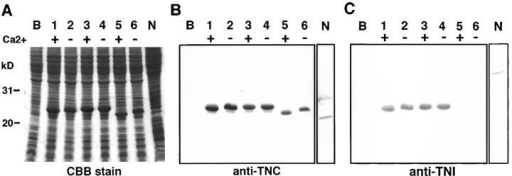 Mobility-shift assay of the wild-type troponin C and characterization of mutant troponin C by using bacterially expressed proteins. (A) SDS-PAGE and Coomassie brilliant blue staining; (B) Western analysis using affinity-purified anti–troponin C antibody. Lane B, Total protein of E. coli JM109; lanes 1 and 2, bacterial protein from cDNA clone, pCTNC-1; lanes 3 and 4, mutant troponin C clone, pCPAT-10-m1; lanes 5 and 6, mutant troponin C clone, pCPAT-10-m2; lane N, total protein of the wild-type N2. Sample solution contained Ca2+ + (1 mM CaCl2, lanes 1, 3, and 5) and Ca2+ − (5 mM EGTA, lanes 2, 4, and 6), respectively. (C) Blotted sheet incubated with bacterially produced troponin I followed by detection with affinity-purified anti–TNI-1. For C, samples and conditions were the same as in A and B. It was noted that PAT-10-m1 did not show a band shift with and without calcium (B, lanes 3 and 4) and PAT-10-m2 did not bind troponin I (C, lanes 5 and 6). For details see the text.