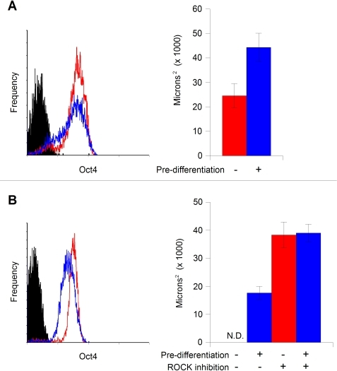 Controlling aggregate formation and stability: A. Pre-differentiation improves aggregate formation and stability.hESC cultured on mouse embryonic fibroblast (MEF) feeders were pre-differentiated with 20% serum for 72 hours prior to aggregate formation, resulting an overall reduction in the population level of Oct4 expression [left panel, red line: standard maintenance culture; blue line: pre-differentiated; black: control (unstained)]. Aggregates formed from 2,000 input cells were substantially larger with treatment (blue bar) than without (red bar). Y axis represents aggregate cross-sectional area in microns2, error bars represent one standard deviation. B. The ROCK inhibitor Y-27632 promotes aggregate stability. hESC cells cultured on Matrigel in MEF-conditioned medium with and without pre-differentiation [left panel, red line: standard maintenance culture; blue line: pre-differentiated; black: control (unstained)] were used to form SISO-aggregates in the presence or absence of 10 µM Y-27632. Under these culture conditions, in the absence of both, no aggregates were formed (N.D. - size not determined). With 48 hours pre-differentiation in 20% serum, consistent aggregates were formed (first blue bar). When Y-27632 was added to the suspension of cells without (red bar) or with (second blue bar) pre-differentiation immediately prior to dispensing into the well plate, sizeable aggregates resulted.