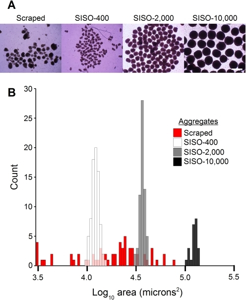 SISO-aggregation allows for the generation of size-controlled aggregates.(A) hEB were generated by scraping, and SISO-aggregates were generated from input populations of 400, 2,000 and 10,000 cells in 384-well plates, and recovered by centrifugation. After imaging in phase-contrast mode, images were thresholded and cross-sectional areas were calculated using the ImageJ software package. Values obtained were extremely consistent, with coefficients of variation of 0.09, 0.06 and 0.08 respectively, vs 0.72 for the scraped hEB. (B) The base-10 logarithm of cross sectional area is plotted on a histogram, demonstrating the clear separation between aggregate sizes and dramatic increase in size control over scraping techniques.
