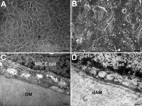 Evaluation of biocompatibility of the passage 191 NRCE cells on denuded amnion. A: NRCE cells grew into a confluent cell sheet on denuded amnion 90 h later. Scale bar: 40μm. B: SEM image showing the cell morphology of a NRCE cell sheet on denuded amnion. Scale bar: 10 μm. C: TEM image of a NRCE cell from a live rabbit corneal endothelium on Descement's membrane (DM). Scale bar: 0.2 μm. D: TEM image of a NRCE cell on denuded amnion. The tight attachment status of the NRCE cell to denuded amnion (dAM), almost identical to that of the NRCE cell on Descement's membrane in (C), was shown. Scale bar: 0.2 μm.