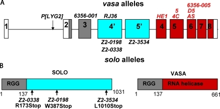Molecular characterization of solo. (A) The genomic structure of solo and vas. The solo and vas transcription units share exons 1–3. Gray shading represents shared translated sequences, and white represents the 5′ and 3′ untranslated region. Exons 4' and 5′ (blue) are unique to solo, and exons 4–8 (red) are unique to vas. Mutations above the locus are vas alleles, those in red fully complement solo, and those in black fail to complement solo. solo mutations are shown below the locus. (B) Predicted structures of SOLO and VASA proteins and mutation sites of solo alleles.