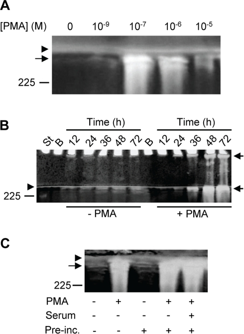 Synthesis of proMMP-9/CSPG in the absence and presence of PMA.THP-1 cells were incubated in the absence or presence of PMA in serum free medium. Harvested medium was thereafter applied to Q-Sepharose chromatography and the presence of proMMP-9/CSPG was detected with gelatin zymography as described in Materials and Methods. In (A), cells were incubated for 72 h in the presence of various concentrations of PMA as indicated. In (B), cells were incubated for various time periods (as indicated) in the absence or presence of 10−7 M PMA. The samples (containing CSPG and proMMP-9/CSPG complex) from cells not exposed to PMA were five times more concentrated than the samples from the PMA treated cells when applied to the gel. In (C), cells were either incubated for 72 h in the absence (−) or presence (+) of 10−7 M PMA at serum free conditions, or pre-incubated for 3 h in the absence (−) or presence (+) of 10−7 M PMA and/or 10% fetal calf serum. After the pre-incubation, cells were washed three times in PBS and thereafter incubated in serum free medium for 72 h. Arrowhead shows the border between the separating and stacking gel, and arrows show the position of the proMMP-9/CSPG complexes. Purified proMMP-9 was used as a standard and the position of the 225 kDa homodimer form is shown at the left. The gels are representative for several similar experiments.