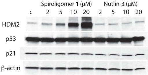 Western blot analysis of HDM2, p53 and p21 in Huh7 cells as a function of concentration of spiroligomer 1 (left) or Nutlin-3 (right).