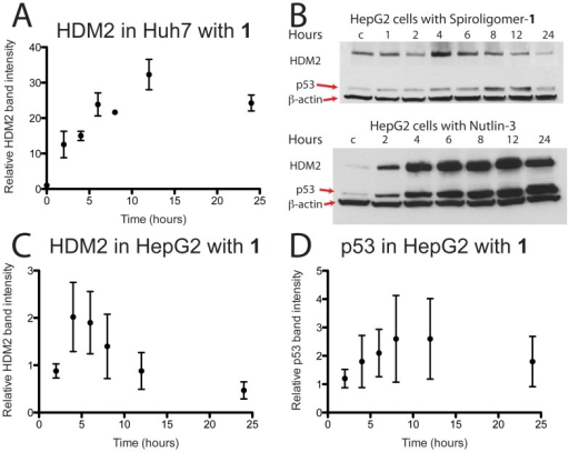 Time dependent Western analysis of spiroligomer 1 (15 µM) and Nutlin-3 (15 µM) added to Huh7 and HepG2 cells.(A) Relative HDM2 band intensity obtained when compound 1 was incubated with Huh7 cells. This plot is the average of two gels and shows a greater than 30-fold increase in the levels of HDM2. (B) Representative western gels showing the effect on HDM2 and wt-p53 in HepG2 cells in the presence of compound 1 and Nutlin-3. (C) Plotted average HDM2 band intensity relative to control (intensity of 1) as a function of time of HepG2 cells incubated with compound 1 at 15 µM. (D) Plotted average of p53 band intensity relative to control (intensity of 1) as a function of time of HepG2 cells incubated with compound 1 at 15 µM. In (C) and (D) the results of six gels (see supporting information) are averaged and standard deviations are plotted on the data. Compound 1 leads to a transient increase in HDM2 levels at 4 hours followed by a decrease. The level of p53 also increases transiently and then decreases again and the p53 changes trail the HDM2 response.