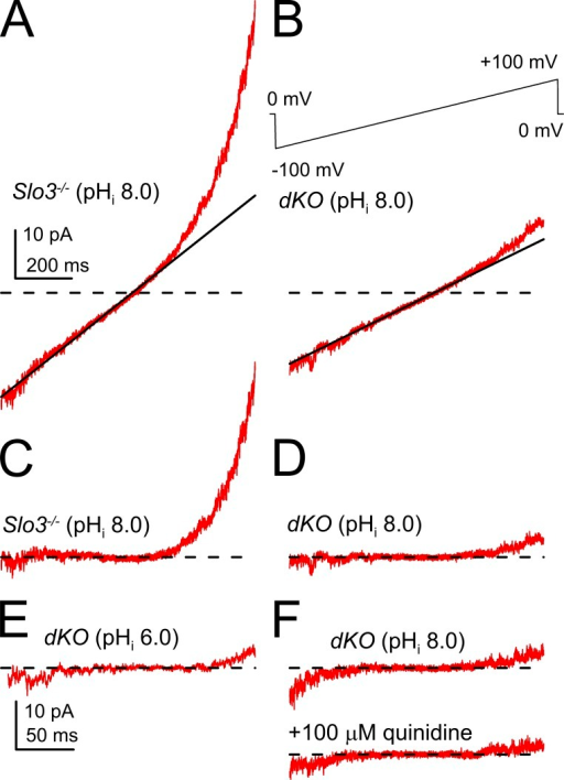 Examples of ramp-activated currents recorded at high gain. (A) Currents activated over the range of −90 to 90 mV are shown at high gain for one sperm. The line corresponds to a linear fit to current over the range of −30 to 30 mV. (B) Similar currents and the linear fit are shown for a dKO sperm. The full ramp protocol is shown on the top. Currents were filtered at 2 kHz. (C) The sweep shows currents from the Slo3 −/− sperm with pHi 8.0 in A, but after subtraction of the linear component. The time base in A also applies to B–D and F. (D) Subtracted currents from the dKO sperm in B with pHi 8.0. (E) Filtered subtracted currents from one dKO sperm with pHi 6.0. (F) Currents from a dKO sperm at pHi 8.0 before and during application of 100 µM quinidine. The dashed lines represent 0 current level.