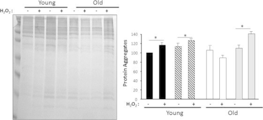 High oxygen conditions (21%) induce elevated levels of protein aggregates in old MPCs. Protein aggregates were measured in the cytosolic fraction isolated from MPCs with and without oxidative treatment (100 μM H2O2 for 19 h). Young MPCs are represented by black bars for 3% O2 and hatched bars for 21% O2. Old MPCs are represented by white bars for 3% O2 and gray bars for 21% O2. Each point represents the mean±SE of three independent experiments. Statistical significance with respect to untreated cells, ⁎p<0.05.