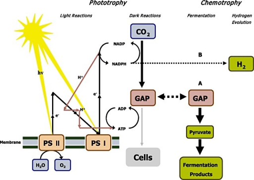 Production of potential biofuels with photosynthetic cyanobacteria. Schematic representation of the metabolism underlying 'photofermentation', based on the introduction of a fermentation pathway or a hydrogen evolution pathway (i.e. a hydrogenase) from a chemotrophic organism into a cyanobacterium. Coupling between the endogenous metabolism of the phototrophic organism and the (heterologously encoded) pathways may occur through central metabolites like glyceraldehyde‐3‐phosphate or NADPH (and ATP). Reproduced from Angermayr and colleagues (2009) with permission from Elsevier.