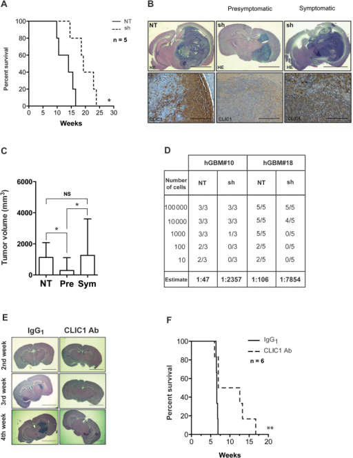 Evaluation of chloride intracellular channel 1(CLIC1) role on glioblastoma development. A) Kaplan–Meier survival curve of mice intracranially transplanted with 105 control (NT) and CLIC1-silenced (sh) cells. Number of mice at risk expressed as weeks (number of mice at risk): 0 (5), 9.8 (5), 10.57 (4), 14 (3), 14.5 (2), 16.5 (1) for NT; 0 (5), 14.5 (5), 18.57 (4), 19.3 (3), 22.8 (2), and 23.8 (1) for sh group. Data are from one experiment with five mice per group. P value was calculated with log rank test: * P < .05; χ2 = 6.27; degrees of freedom (df) = 1. B) Representative brain images from mice intracranially injected with control (NT) and CLIC1-silenced (sh) cells stained with hematoxylin and eosin (HE) (top row; scale bar = 3mm) or CLIC1 (bottom row; scale bar = 300 µm). C) Tumor volume quantification, as indicated. Experiment was carried out using three mice per group. Error bars represent 95% confidence intervals; *P < .05. One-way analysis of variance with Bonferroni correction was used. Pre = presymptomatic; Sym = symptomatic. D) Table representing the incidence of tumor formation of tumor bearing mice and the cancer stem cell frequency calculated in the glioblastoma (GBM) neurospheres (estimate). hGBM#10: χ2 = 17.5; P < .0001; hGBM#18: χ2 = 34.2; P < .0001. E) Representative hematoxylin and eosin–stained histological images from mice intracranially injected with hGBM#7 cells treated with CLIC1 antibody (Ab) or isotype control antibody (scale bar = 3mm). Mice were killed at the second, third, and fourth week, as shown. IgG = immunoglobulin G. F) Kaplan–Meier survival analysis of mice intracranially implanted with 105 hGBM#7 cells treated with CLIC1 antibody or isotype control antibody. Number of mice at risk expressed as weeks (number of mice at risk): 0 (6), 6.4 (6), 96.5 (5), 6.6 (4), 6.8 (2), 6.9 (1) for IgG1 group; 0 (6), 6.6 (6), 7.0 (5), 12.6 (3), 13.3 (2), 16.7 (1) for CLIC1 group. Data are from one experiment with six mice per group. P value was calculated with log rank test: *P = .01; χ2= 6.36; df=1.