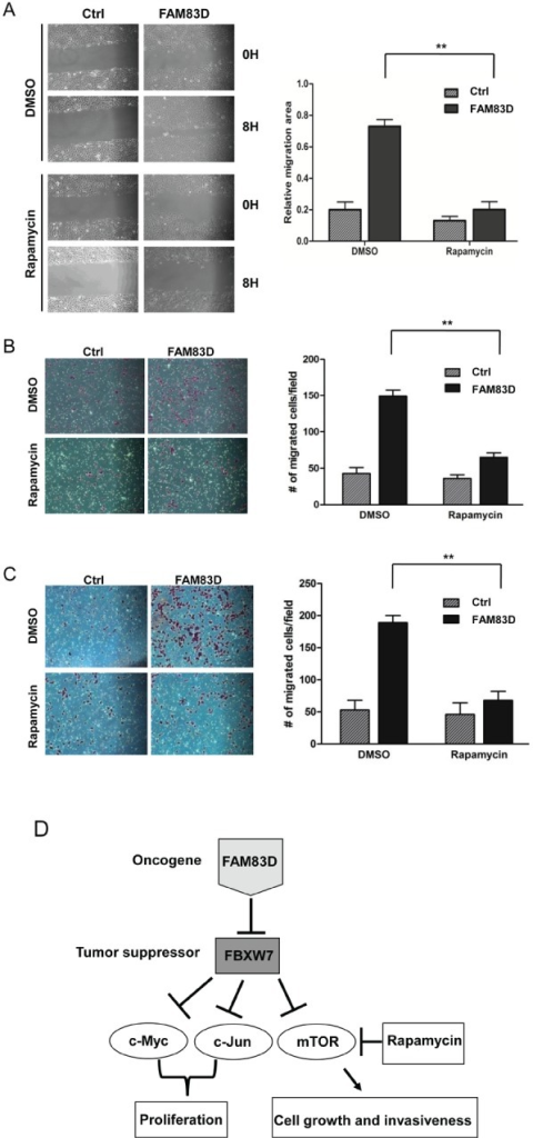 mTOR inhibition by rapamycin alleviates the enhanced migration and invasion caused by ectopic overexpression of FAM83D(A) Inhibition of mTOR by rapamycin significantly suppresses cell motility induced by FAM83D ectopic overexpression in scratch-healing assay. The representative photographs are shown in left panel. Quantification of the data was presented as relative migration area in each cell line (right panel). (B and C) Enhanced cell migration and invasion caused by FAM83D ectopic overexpression were rescued by treatment of Rapamycin. Uncoated (B) or Matrigel-coated (C) transwell assays on MCF10A control cells and MCF10A-FAM83D cells treated with DMSO control and rapamycin. In a-c, data are presented as means ± Standard deviation from three independent experiments each performed in triplicates. ** indicates p<0.01, which were obtained from t-test. (D) Schematic illustration of the proposed oncogenic function of FAM83D in breast cancer development through inhibition of the FBXW7 tumor suppressor by physical interaction.