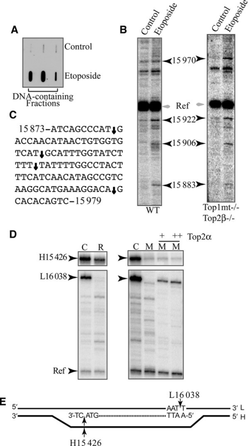 Top2 cleavage complexes in mtDNA. (A) Top2 cleavage complexes in mitochondria from MCF7 cells treated with etoposide. Mitochondrial lysates were fractioned by CsCl gradient. Three consecutive DNA-containing fractions of each sample were collected and immunoblotted with Top2 antibody (ICE bioassay). (B) Cleavage sites in mtDNA from TOP1mt TOP2β double-knockout MEFs and their wild-type (WT) counterpart treated with etoposide. PL-PCR was used to visualize mtDNA fragments. Ref: non-specific band used as reference. (C) Map summarizing the etoposide-induced cleavage sites shown in panel (B) (arrows). (D) Characterization of the Top2α site at nucleotide positions H15 426 and L16 038 observed under normal growth conditions. Both sites were characterized with respect to heat-reversibility (R) (65°C for 5 min), merbarone-sensitivity (M) (200 μM for 4 h) and regeneration by addition of purified human Top2α to mtDNA from merbarone-treated cells. (E) Schematic drawing showing the notable position of the H15 426 and L16 038 sites. The 7S DNA in the D-loop is shown as dashed line.