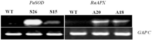 Confirmation of PaSOD and RaAPX gene expression in transgenic Arabidopsis plants at 20°C.The same plants were used for crossing to obtain the double transgenic plants. Expression of genes was (S26 and S15; A20 and A18) confirmed by estimating their transcripts from the leaf tissue by semi-quantitative RT-PCR. Constitutively expressed GAP-C was used as loading control.