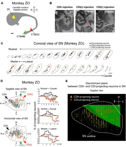 Projections of SNc neurons to CDh and CDt in monkey ZO. Same format as in Figures 3 and 4.