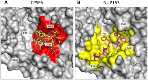 CPSF6 and NUP153 interact with distinct sets of CA residues within the hexamer interface.A molecular surface representation of the CPSF6 and NUP153 binding site in hexameric capsid is shown in gray. The interface is formed between two neighbouring monomers and is shown in a similar orientation to Figure 3. The CPSF6 (A) and NUP153 (B) peptides in the different complexed structures are shown in yellow and pink respectively. The binding 'footprint' of each ligand is shown in red for CPSF6 and yellow for NUP153. The footprint was calculated using PISA [44] and is defined as residues containing atoms that become desolvated upon binding (i.e. are within 1.4 Å of the ligand).
