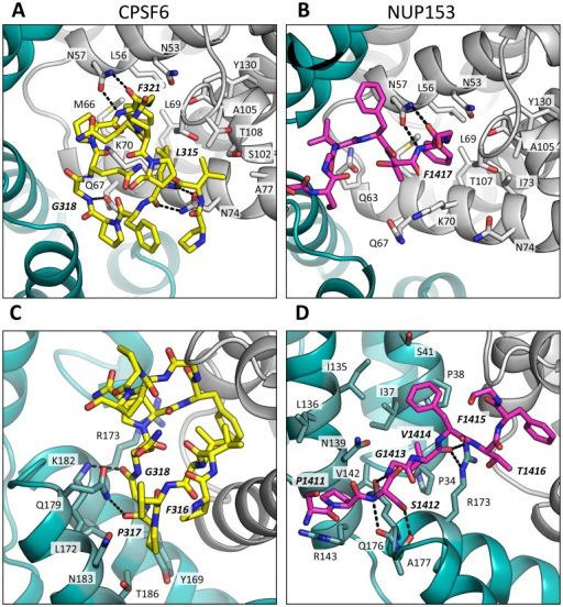 CPSF6 and NUP153 interact both within and between CA monomers.Detailed views of the interactions between the ligands and the binding site within hexameric capsid are shown. In each case two adjacent monomers of the hexamer are colored gray and teal, with the side chains of specific contacting residues displayed and labelled in standard text. Potential hydrogen bonds with ligands are indicated by dashed lines. The upper panels (A and B) focus on interactions that occur in the first binding site (within one monomer), while the lower panels (C and D), show interactions in the second binding site (with the second monomer). CPSF6 is shown in yellow and NUP153 in pink, with important ligand residues labelled in bold and italic text.