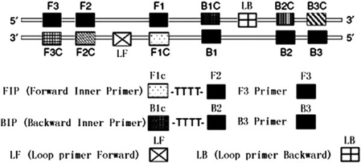 Schematic diagram of primers used in the LAMP assays. In detail, 6–8 distinct regions on every strand were used to design LAMP primers for the target gene. For the inner primers, the forward inner primer (FIP) consisted of the complementary sequence of F1 (F1c), a T-T-T-T linker and F2; the backward inner primer (BIP) consisted of the complementary sequence of B1 (B1c), a T-T-T-T linker and B2. The outer primers F3 and B3 located outside of the F2 and B2 regions, with loop primers LF and LB located beween F2 and F1 or B1 and B2, respectively. The scare bar is 10 nm.