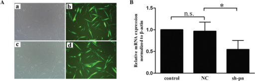 Lentiviral-mediated stable genetic knockdown in KFs. KFs were transfected with lentivirus harboring shRNA periostin or non-silencing shRNA. (A) Fluorescence microscopy of sh-pn under (a) microscopy and (b) fluorescence microscopy; non-silencing group under (c) microscopy and (d) fluorescence microscopy. (B) mRNA analyses were performed to ensure the efficiency of transfection prior to each experiment (n=6). *P<0.05, compared with the controls. n.s,, not significant; KF, keloid fibroblasts; shRNA, short hairpin RNA; sh-pm, shRNA-periostin; NC, non-silencing.