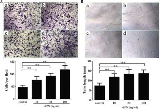 rhPN promotes HUVEC migration and tube formation. (A) Migration and (B) tube formation of HUVECs following treatment with rhPN: (b) 10 ng/ml, (c) 50 ng/ml, (d) 100 ng/ml and (a) a negative control of albumin without rhPN. *P<0.05 and **P<0.01. (n=6). rhPN, recombinant human periostin protein; HUVEC, human umbilical vein endothelial cell.