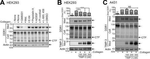 The sheddase responsible for collagen-induced DDR1 shedding is TIMP-insensitive. (A) HEK293 cells were transiently transfected with DDR1-NF and treated with collagen I for 24 h in the presence or absence of 10 μM GM6001, 10 μM Mst, 10 μM E-64, 10 μM pepstatin A, 100 μM AEBSF, PI cocktail, 1 μM γ-secretase inhibitor X (L-685, 458), or vehicle control (DMSO). Conditioned media and cell lysates were subjected to Western blotting using anti–DDR1 ectodomain (Med), anti–DDR1 C-terminus (Cell), or anti-actin antibodies. CTF, C-terminal fragment. (B, C) HEK293 cells transiently transfected with N-terminally FLAG-tagged DDR1 (B) and A431 (C) cells were treated for 24 h with serum-free DMEM containing 100 μg/ml collagen I in the presence or absence of TIMP-3 at a concentration of 100, 200, or 300 nM. Conditioned media and cell lysates were analyzed by Western blotting using anti–DDR1 ectodomain (Med), anti–DDR1 C-terminus (Cell), anti-FLAG (TIMP-3, Med), or anti-actin antibodies. The band intensity of shed DDR1 was analyzed with Phoretix and standardized by the intensity of shed DDR1 in collagen-treated medium. Data shown at the top represent the means ± SEM. N = 3 for each condition. ***p < 0.005; ****p < 0.0001; NS, not significant (p > 0.05; one-way analysis of variance [ANOVA]) compared with collagen-treated medium.