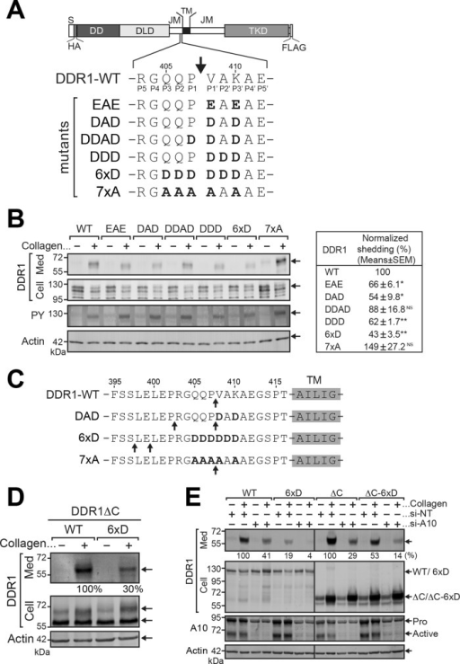 Engineering shedding-resistant DDR1 mutants. (A) Schematic representation of mutant DDR1 constructs used in the experiments. Arrow indicates the cleavage site identified. DD, discoidin-homology domain; DLD, discoidin-like domain; JM, juxtamembrane region; S, signal peptide; TKD, tyrosine kinase domain; TM, transmembrane domain. (B) HEK293 cells were transfected with expression plasmids for DDR1 mutants as indicated. Cells were treated with collagen for 24 h (DDR1 and Actin) or 1 h (PY). Conditioned media and cell lysates were subjected to Western blotting using anti-DDR1 (DDR1), anti-actin, and anti-PY antibodies. The band intensity of shed DDR1 was analyzed with Phoretix software, and fold changes were normalized to actin and DDR1 in cell lysates and sample volumes. The normalized shedding was calculated as described in Materials and Methods. Data are shown at the right and represent the means (%) ± SEM. n = 3 for each condition. *p < 0.01; **p < 0.0001; NS, not significant (p > 0.05; two-tailed Student's t test) compared with WT, collagen treated. Statistical analyses were performed with Prism, version 6 (GraphPad, La Jolla, CA). (C) Cleavage sites of DDR1 mutants were determined by N-terminal sequencing. Arrows indicate the identified cleavage sites. (D) HEK293 cells were transfected as indicated. Cells were treated with collagen for 24 h and analyzed as in B. The relative intensities of DDR1 shed forms are shown in the bottom of the top panel. (E) HEK293 cells stably expressing DDR1 mutants as indicated were transfected with siRNAs for ADAM10 (si-A10) or with nontargeting siRNA (si-NT). After 48 h, cells were treated with collagen I (100 μg/ml) for a further 24 h. Conditioned media and cell lysates were analyzed by Western blotting with antixDDR1 ectodomain (DDR1), anti-ADAM10 (A10), or anti-actin antibodies. The band intensity of shed DDR1 mutants was analyzed with Phoretix, and relative intensities were standardized to WT or ∆C treated with collagen. Data are shown at the bottom of the top panel. Active, active form of ADAM10; Pro, proform of ADAM10.