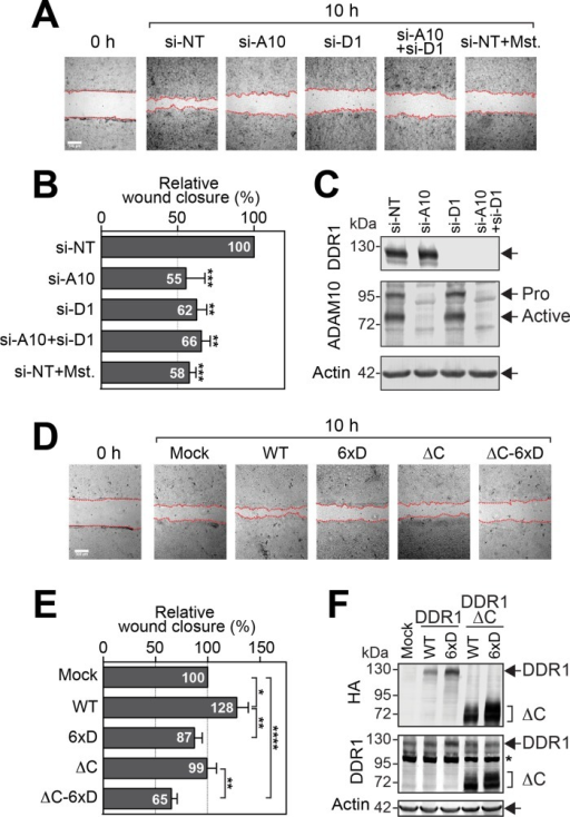 DDR1 ectodomain shedding is required for efficient cell migration on a collagen matrix. (A) A431 cells transfected with siRNAs for DDR1 (si-D1), ADAM10 (si-A10), or both DDR1 and ADAM10 (si-A10+si-D1) were subjected to wound-closure assay on a collagen matrix. Control cells were also treated with 50 μM Mst to inhibit DDR1 shedding. si-NT, nontargeting siRNA. Scale bar, 300 μm. Wound-healing edges of cells were traced and indicated with dashed lines. (B) Relative cell migration of each treatment in A. The data are presented as mean ± SEM (n = 6). **p < 0.01; ***p < 0.005 (one-way ANOVA) compared with each si-NT. p < 0.05 is considered statistically significant. Statistical analyses were performed with Prism, version 6 (GraphPad). (C) Knockdown levels of each protein were confirmed by Western blotting with anti-DDR1, anti-ADAM10, and anti-actin antibodies. Pro, proform of ADAMs; Active, active form of ADAMs. (D) A431 cells stably expressing DDR1-wild type (WT), -6xD, ΔC, and ΔC-6xD were subjected to wound-closure assay on a collagen matrix. Representative images from each treatment. Wound-healing edges of cells were traced and are indicated with dashed lines. (E) Data from D were analyzed as in B (n = 16). *p < 0.05; **p < 0.01; ****p < 0.0001 (two-tailed Student's t test). (F) A431 cells stably expressing DDR1 mutants were subjected to Western blotting to confirm the expression levels of each mutant. All constructs contain an N-terminal HA tag and a C-terminal FLAG tag. Asterisk indicates nonspecific band.