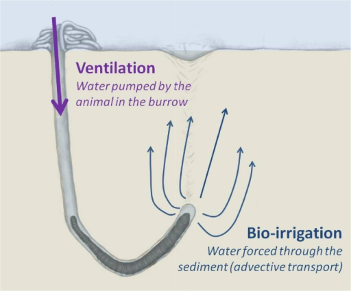 Schematic representation of ventilation and bio-irrigation in the blind-ended burrow of the lugworm, Arenicola marina.Lugworms ventilate intermittently oxic overlying water into their burrows to survive anoxic conditions. The flow of water passes over the gills of the worm and is subsequently forced (or bioirrigated) into the surrounding sediment. Porewater advection changes the sediment biogeochemistry dramatically. The extent and the scale of this effect depend on the ventilation activity of the animal and the distribution pattern of the irrigated water.