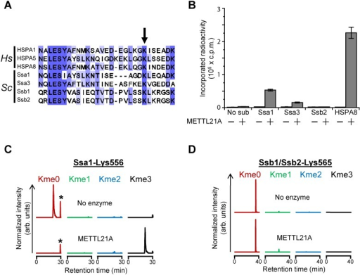 Evaluating Ynl024c as a functional homolog of the Hsp70-specific METTL21A.(A) Protein sequence alignment of various Hsp70 proteins from H. sapiens (Hs) and S. cerevisiae (Sc) showing the region surrounding the lysine targeted by METTL21A (arrow). Shown proteins are: HSPA1(P08107), HSPA5(P11021), HSPA8(P11021), Ssa1(P10591), Ssa3(P09435), Ssb1(P11484) and Ssb2(P40150). (B) Activity of METTL21A on recombinant yeast Hsp70 proteins. Recombinant METTL21A was incubated with the indicated recombinant E. coli-expressed yeast Hsp70 proteins, as well as with human HSPA8, in the presence of [3H]AdoMet, and the amount of TCA-insoluble radioactivity measured by scintillation counting. Error bars indicate standard deviation (n = 3). (C) Lys556 in Ssa1 is not methylated in vivo. Yeast whole cell extract (WCE) (20 μg) was incubated in the absence (upper) or presence (lower) of METTL21A (100 pmol). MS chromatograms of Asp-N generated peptides encompassing residues D555-A560 of Ssa1 (as shown in (E) and (F)), gated for m/z corresponding to peptides with un-, mono-, di- and trimethylated Lys556. Peaks corresponding to an unrelated peptide with a m/z-ratio matching the unmethylated species of the peptide are indicated by asterisks. (D) Lys565 in Ssb1/Ssb2 is not methylated in vivo. Same as in (C), except that the analysed peptide corresponds to L546-R568 from Ssb1/Ssb2 and was generated by cleavage with Arg-C. Tandem mass spectra of relevant peptides are shown in S1 Fig.