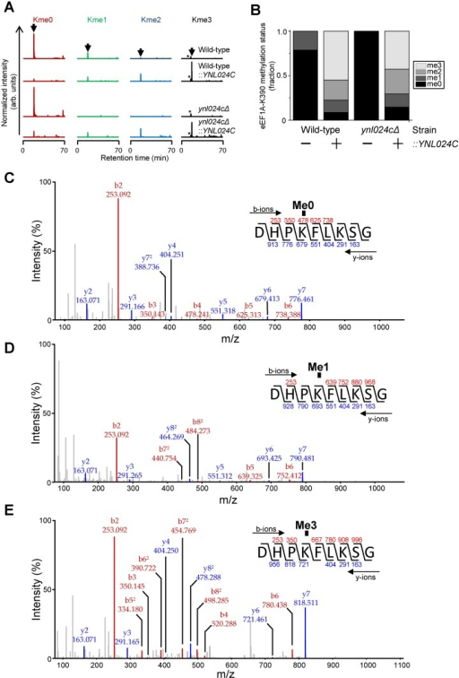 "Ynl024c-mediated methylation of eEF1A in vivo.(A) Qualitative analysis of Ynl024c-dependent methylation of Lys390 in eEF1A. MS chromatograms gated for the different lysine methylation states of Asp-N generated peptides corresponding to aa 387–395 of S. cerevisiae eEF1A from wild-type and Ynl024c deficient (ynl024cΔ) yeast or these strains with overexpression of Ynl024c, denoted ""Wild-type::YNL024C""or ""ynl024cΔ::YNL024C"", respectively. The expected elution time for the relevant peptide is indicated by an arrow above the upper trace. The peak corresponding to an unrelated peptide with a m/z-ratio matching the trimethylated peptide species is indicated by an asterisk. (B) Quantitative analysis of Ynl024c-dependent methylation of Lys390 in eEF1A. Quantitative representation of the data from (A). The fractional occupancy of the various lysine methylation states was determined as the relative signal for corresponding peptides in (A), determined by integration. C-E, MS/MS fragmentation pattern supporting the identity of analysed peptides. Representative annotated spectra for un- (C), mono- (D) and trimethylated (E) peptides corresponding to peaks in (A) are shown. Spectra for the dimethylated peptide is shown in S2 Fig."