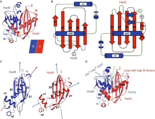 Overall structure ofMtbHadAB complex. (A) Cartoon representation of the structure of MtbHadAB hetero-dimer is shown. HadA (red color) sits antiparallel to HadB (blue color). (B) Topology diagram of the structure of HadA and HadB. A short pair of strands in HadA was undefined in the native structure because of poor density. (C) Differences in positioning of αHD of HadA and HadB are shown. Direction of the axis of the β-sheet w.r.t. αHD is shown with arrows. Difference in conformation of loop connecting β2 with αHD is pointed using a magenta colored arrow. (D) Location of pockets in the active site of HadB is shown. The fatty acid binding channel and a vertical cavity traversing the fatty acid binding channel is shown in grey colored transparent surface representation. Location of catalytic dyad, His41-Asp36, is shown. Cavities were identified using CAVER software