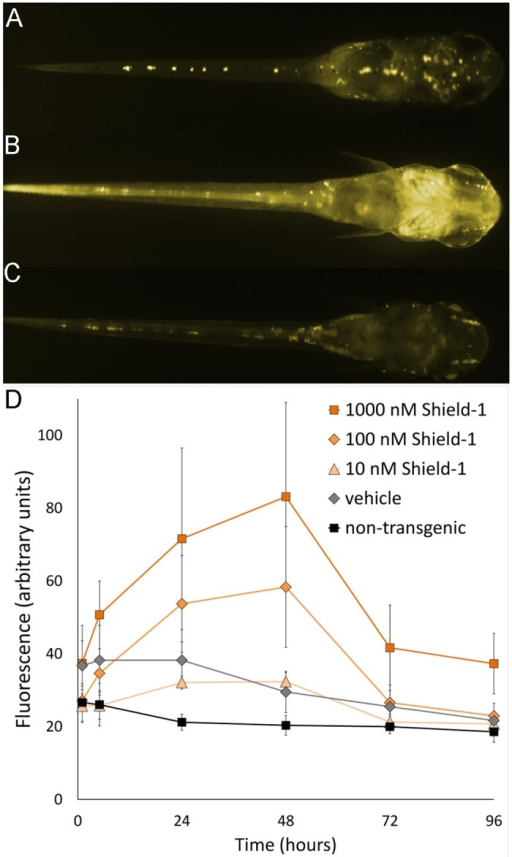 Kinetics of YFP induction in fry.Transgenic fries were treated with the indicated concentrations of Shield-1 or 0.1% ethanol (vehicle). After 48 hours, the water was exchanged and the imaging was continued up to 72 and 96 hours to monitor the reversibility of the induction. (A-C) Fluorescence images of a representative individual treated with 100 nM Shield-1; dorsal view, head to the right. The faint fluorescence seen in transgenic individuals after 1 hour (A) increases to maximum after 48 hours (B) and decreases to background level after 96 hours of the experiment (C). (D) Fluorescence values (area fluorescence, arbitrary units) after treatment of fry with the indicated concentrations of Shield-1. Data points of three individuals are shown for the vehicle control, 5–6 individuals for the other groups (mean with standard deviation). The images were taken over a period of 96hours with an exposure time of 10 seconds. The monochrome images in A-C were colored for clarity.