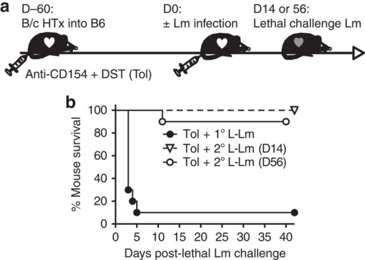 Animals experiencing a return of transplantation tolerance can successfully develop protective immunity to a lethal challenge of Lm.Tolerant (Tol) mice received a primary lethal (L) challenge of Lm (1.2 × 107 CFU; 1° L-Lm, n=10) or a sublethal Lm infection on day 0 (D0) followed by graft rejection and subsequent re-infection with a secondary lethal Lm challenge (2° L-Lm) on D14 or D56 after the first infection (n=7–9 per group). Data are pooled from two independent experiments. (a) Experimental design. (b) Data are presented as percent animal survival after lethal Lm challenge (P<0.001 for 2° L-Lm on D14 or D56 compared with 1° L-Lm by log-rank test).