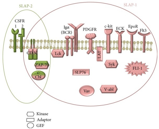 The interaction partners of SLAP-1 (pink) and SLAP-2 (green). Several proteins have been reported to interact with SLAP-1 molecule: c-Cbl, CD3 ζ chain, ECK, EpoR, Igα, LAT, Lck, PDGFR, SLP-76, Syk, v-abl, Vav (protooncogene vav), ZAP70, c-kit, Flt3, and FLI. SLAP-2 interacts with c-Cbl, CD3 ζ chain, CSFR, and ZAP70.