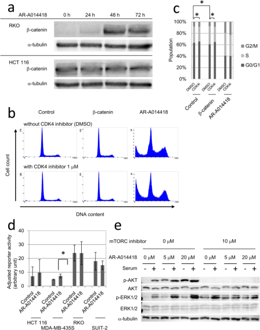 AR-A014418 effects on the Wnt/β-catenin, NF-κB, MAPK, and PI3K/AKT signalling pathways.(a) β-catenin accumulation by AR-A0114418 in RKO and HCT 116. Cells were harvested for immunoblotting after treatment with 20 μM AR-A014418 for indicated periods. (b) Comparisons of DNA histograms between β-catenin-overexpressing and AR-A014418-treated HeLa cells. A CDK4 inhibitor (1 μM) was added at 24 h after transfection with a mutant (S33Y) β-catenin expression vector or after adding 20 μM AR-A014418. After another 48 h, cells were harvested for cell cycle analysis. (c) Cell cycle distributions of HeLa cells subjected to mutant β–catenin overexpression or AR-A014418 treatment with or without a CDK4 inhibitor. Cells were treated in the same way as (b) Average of three independent experiments is shown. Error bars indicate 95% CIs (*p < 0.05). (d) NF-κB reporter activities with or without AR-A014418 treatment. Cells were pre-treated with DMSO or 20 μM AR-A0114418 for 48 h from the next day of reporter plasmid transfection. After the treatment, cells were allowed to release MMPs into fresh medium for 24 h. (*p < 0.01) (e) AKT and ERK phosphorylation after AR-A014418 treatment. Cells were cultured in serum-free media with AR-A014418 at the indicated concentrations for 48 h. After serum starvation, cells were stimulated with 10% serum for 30 min and then harvested for western blot.