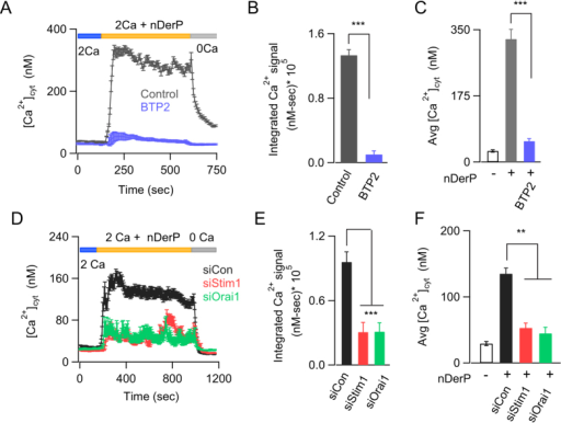 Dust mite allergen extracts activate CRAC channels in BEAS-2B cells.(A) HDM extract (nDerP, 18 μg/mL) induces a cytosolic Ca2+ signal that is blocked by BTP2. (B,C) Summary of the average rise in [Ca2+i] 200 seconds after addition of HDM extract (B) and the integral Ca2+ signal (D–F) Knockdown of STIM1 or Orai1 inhibits nDerP induced Ca2+ signals. (D) Average trace showing the effects of siRNA mediated knockdown of STIM1 and ORAI1 on HDM allergen-induced Ca2+ signals. Summary of (E) average cytosolic Ca2+ levels 540 seconds after addition of dust mite allergen extract and (F) integrated Ca2+ signal. Data are mean ± SEM of 32–57 cells. Representative of 3–5 independent experiments. **P < 0.01, ***P < 0.001, nDerP, dust mite extract.