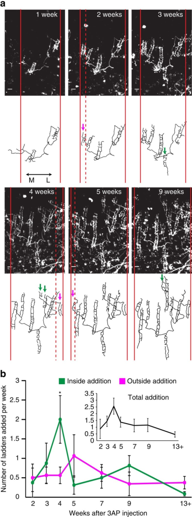 Pattern of post-lesion CF collateral sprouting in vivo.(a) A representative example of in vivo time-lapse images of the same surviving CF and its traces for the time points mentioned at the top right of the CF images. Maximum projections (top-down view) of the CF in the molecular layer are shown. Solid red lines indicate the mediolateral extent of the CF at each time point while the dashed red line indicates the mediolateral boundary from the previous time point that expanded in the current time point. Magenta arrows indicate ladders categorized as outside additions while green arrows indicate ladders categorized as inside additions. A total of nine surviving CFs were imaged from the four animals and traced completely as shown in this example. Additional examples are shown in Supplementary Fig. 2. Scale bar, 10 μm. (b) Average number of ladders added (±s.e.m.) at each time point (n=4 animals). We observed 101 new ladders emerging from the 9 surviving, parent CFs out of which 48 were categorized as outside and 53 as inside. The pattern of inside addition (that is, number of ladders added to the inside) were significantly different over time (one-way repeated measures analysis of variance with Tukey post hoc analysis: F(6,18)=3.604; P=0.01; *P<0.05 time point 4 compared with time points 2, 5 and 13+). Inset shows total ladders added (±s.e.m.) at each time point.