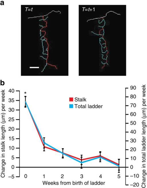 Pattern of post-lesion CF ladder growth in vivo.(a) Traces from a CF ladder at two consecutive time points (t and t+1) are shown to illustrate how change in stalk and total ladder length was measured throughout the paper. The white trace is the main collateral the CF ladder emerges from. The red trace is the main stalk of the CF ladder and the blue traces are the rungs that emerge from the main stalk. Stalk length is the measurement of the red trace while total ladder length is the sum of measurements of the red trace and all the blue traces. Scale bar, 10 μm. (b) Average change in stalk length (±s.e.m., red) and total ladder length (±s.e.m., blue) per week at each time point where each time point indicates number of weeks from birth of the ladder (n=57 ladders). Average change in stalk length was significantly different over time (one-way analysis of variance with Tukey post hoc analysis: F(5, 175)=26; P<0.0001; *P<0.001 compared with time points 1, 2, 3, 4 and 5). Average change in total ladder length was significantly different over time (One-way ANOVA with Tukey Post-hoc analysis: F(5,201)=20.74, P<0.0001, *P<0.001 compared to time point 1,2,3,4,5).