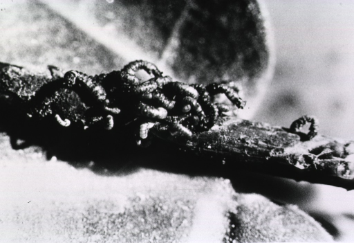 <p>A cluster of black fly larvae.</p>