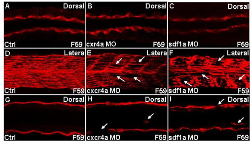 Slow muscle migration defects in cxcr4a and sdf1a morphants. Confocal images of embryos stained for slow myosin using F59 antibody. Dorsal (A-C;G-I) and lateral (D-F) views of embryonic trunk between the fourth and tenth somites. (A-C) Adaxial cells in cxcr4a and sdf1a morphants are identical to that in controls, 19 h. (D-I) Embryos at 25 h. (D-F) Z-stacked images of ten frames. (G-I) Z-stacked images of two frames. (D) Distinct and properly aligned slow fibers are seen in control embryo. (E,F) Gaps are seen in myotomes of representative cxcr4a and sdf1a morphant, indicated by white arrows. (G) Control. (H,I) Loss of fiber at the superficial layer and misrouted slow muscle, indicated by white arrows in representative cxcr4a and sdf1a morphant respectively. Other misrouted slow fibers in morphants are in different planes (data not shown).