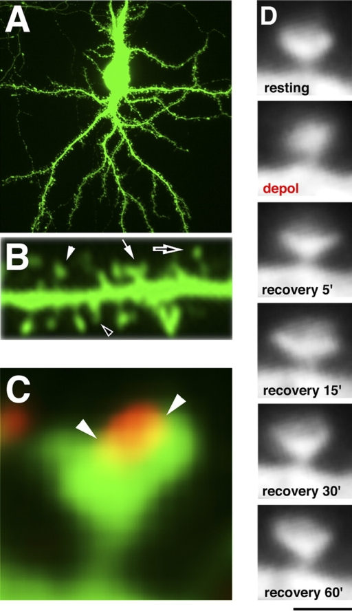 Depolarization induces the lateral expansion of spine head. Hippocampal neurons were transfected with gfp and subjected to CCD imaging on 18–22 DIV. (A) GFP uniformly labels the neuronal contour. (B) Closer magnification of a GFP-filled dendrite. Closed arrow, cotyloid spine; closed arrowhead, flat apex spine; open arrow, thin spine; open arrowhead, filopodium (Table I; Fig. 7 C). (C) The GFP-filled neurons were immunolabeled with synaptophysin (red). The presynaptic terminal labeled by synaptophysin attaches to the cotyloid face on the apex of the spine. Arrowheads indicate putative synaptic cleft. (D) GFP-labeled neurons were transiently treated with high K+ (31 mM) for 2 min, and recovered for 60 min in normal K+ solution, while images were taken serially. The spine rounded up during the depolarization (2 min), and then displayed cotyloid shape again when the stimulation was halted (recovery 5′). The lateral size of the spine became larger than in the original at 15 min after the stimulation (recovery 15′), and it lasted at least for 60 min (recovery 60′). Bar: (A) 60.00 μm; (B) 5.00 μm; (C) 1.00 μm; (D) 1.25 μm.