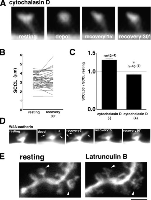 Involvement of cadherin/actin complex in the rearrangement and the maintenance of spine structure. (A–C) The activity-induced spine expansion is dependent on actin polymerization. Cytochalasin D was applied 30 min before and during imaging (A). The transient rounding up of spines during the depolarization was not affected by cytochalasin D treatment (A, depol). The spine expansion during the recovery phase was inhibited by cytochalasin D treatment (A, recovery 15′–30′). The SCCL of each spine before and 30 min after depolarization is plotted (B). The ratios between resting SCCL and stimulated (30 min) SCCL are shown (C; mean ± SEM). *P < 0.05 to the control. The data were collected from four to five neurons (dendrites) in four to five independent experiments. (D) During (depol) and after the depolarization (recovery 5′), the W2A-cadherin transfected neurons protruded filopodia-like structures on the top of the spines (arrows). These protrusions then fuse with each other and retract while moving in various directions (recovery 30′). (E) The neuron was preincubated (30 min) and imaged with existence of latrunculin B. Note that filopodia-like structures formed on the spine top (arrowheads). Bar: (A) 1.47 μm; (D) 2.35 μm; (E) 2.50 μm.