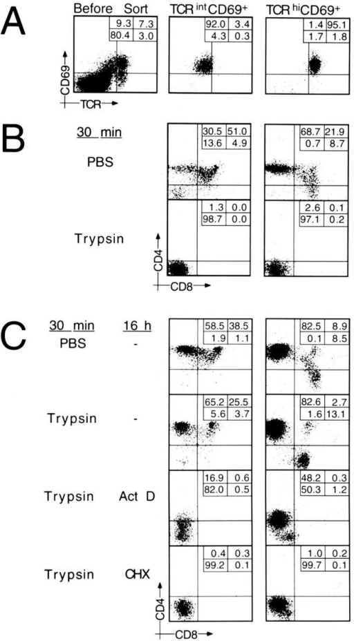 Proteolytic stripping and requirements for coreceptor reexpression on TCRintCD69pos and on TCRhiCD69pos thymocyte populations. (A) TCRintCD69pos and TCRhiCD69pos thymocytes were purified  by cell sorting. (B) Purified cell populations were treated with PBS or  trypsin, and immediately analysed for CD4/CD8 expression. (C) PBStreated cells were incubated overnight in medium alone; trypsin-treated  cells were incubated overnight in medium alone, or in the presence of  ActD or CHX. Thereafter, cells were stained for CD4/CD8 expression.  Percentages are given in the insets. Fluorescence intensities in B and C  differ somewhat since analyses have been performed on different flow cytometers.