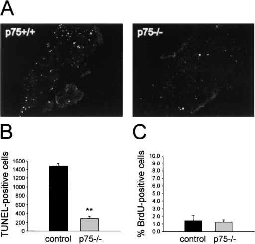 The increase in sympathetic neuron number in the neonatal p75NTR−/− SCG is due to reduced apoptosis, not increased proliferation. (A) Fluorescence photomicrographs of TUNEL analysis of representative sections through the P2 SCG of p75NTR+/+ and p75NTR−/− animals. (B) Quantitation of TUNEL analysis similar to that seen in A. Numbers represent the total mean number of apoptotic nuclei in the SCG of p75NTR+/+ (control) versus p75NTR−/− (p75−/−) animals. (**P < 0.0005, n = 3). (C) Percentage of BrdU-positive cells with neuronal morphology in the p75NTR+/+ (control) versus p75NTR−/− (p75−/−) SCG at P3 and P4 (P = 0.4, n = 3 for each group). In both cases, error bars represent the standard error of the mean.