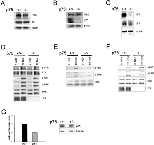 Levels of Trk receptors, Trk receptor activation, and downstream survival signaling in p75NTR−/− SCG neurons. (A) Western blot analysis of equal amounts of protein from p75NTR−/− versus p75NTR+/+ SCG at P7, probed for TrkA (RTA), tyrosine hydroxylase (TH) and ERK1. (B) Western blot analysis of lysates of P7 p75NTR−/− versus p75NTR+/+ SCG that were precipitated with WGA and then probed with an antibody specific for TrkC or the intracellular region of p75NTR. Equal amounts of protein from the same lysates were also probed for ERK1. (C) Western blot analysis of equal amounts of protein from p75NTR−/− versus p75NTR+/+ ganglia probed for p75NTR (p75), p53, or for total tubulin. (D) Western blot analysis of equal amounts of protein from cultured p75NTR−/− versus p75NTR+/+ neonatal sympathetic neurons that were washed free of NGF, and then were induced with 0 or 50 ng/ml NGF for 10 min. Blots were probed with an antibody specific to phosphotyrosine to detect tyrosine phosphorylated Trk (p-TYR), or with antibodies for the activated phosphorylated forms of Akt (p-AKT) or the ERKs (p-ERK), and then reprobed for TrkA (RTA), total ERKs (ERK), or p75NTR (p75). Note that in the ERK reprobe, a mobility shift is evident in the lysates from NGF-treated neurons, consistent with the increased levels of phosphoERK observed. (E and F) Western blot analysis of equal amounts of protein from cultured p75NTR−/− versus p75NTR+/+ neonatal sympathetic neurons that were washed free of NGF and induced either with 50 ng/ml NGF for 1 h (E) or 20 ng/ml NT-3 for 10 min (F). Blots were probed with antibodies specific to phosphorylated Akt (p-AKT) or phosphorylated ERKs (p-ERK) and then reprobed with antibodies for total ERKs or for p75NTR (p75). (G) Western blot analysis for p75NTR in equal amounts of protein from p75NTR+/+ versus p75NTR+/− ganglia at P7. The blot was reprobed for tubulin, scanned, and the ratio of p75NTR to tubulin was plotted on the accompanying bar graph.