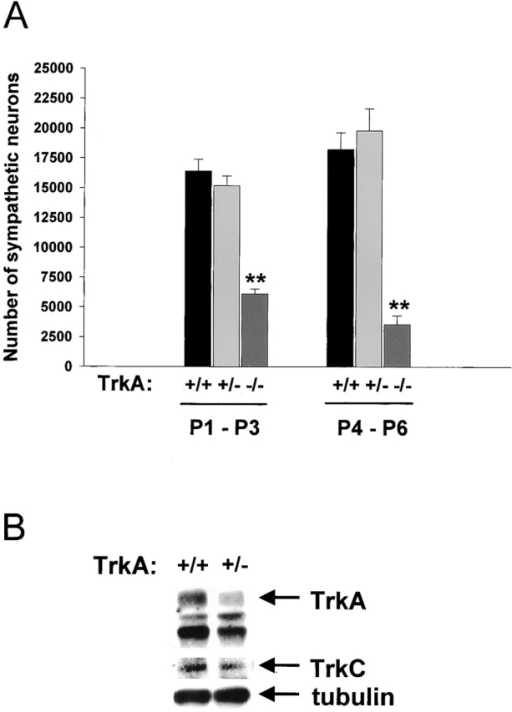 Analysis of sympathetic neuron number in TrkA+/+, TrkA+/−, and TrkA−/− SCG. (A) Sympathetic neuron number in the SCG of TrkA+/+, TrkA+/−, and TrkA−/− animals at ages P1–P3 and P4–P6 in the C129/C57BL6 background. Results represent mean ± standard error (n = 3–5 for each genotype). At both ages, TrkA−/− neuron number is greatly decreased (**P < 0.005), but there is no significant difference in the TrkA+/− ganglia. (B) Western blot analysis of equal amounts of protein from the TrkA+/+ and TrkA+/− SCG at P10. Blots were probed for TrkA, TrkC, and tubulin.