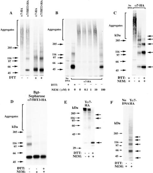 Differences in the folding of α7-HA and α7/5HT3-HA subunits. (A) A difference in α7 and α7/5HT3 subunit redox state. 6-cm cultures of tsA201 cells, transfected with α7-HA or α7/5HT3-HA cDNAs, were metabolically labeled for 1 h and chased for 1 h. The cells were solubilized in the absence of NEM and labeled subunits immunoprecipitated with anti-HA mAb. Samples, each from one 6-cm culture, were loaded on the gel with or without treatment with 10 mM DTT. α7-HA samples were loaded into lanes 1 and 3 and α7/5HT3-HA samples were loaded into lanes 2 and 4. Arrows on the left of the figure are the indicated molecular weight markers run on a separate lane. Arrows on the right of the figure indicate positions of monomer, dimer, trimer, tetramer, and pentamer subunit complexes. (B) α7 subunit alkylation prevents its aggregation. TsA201 cells were transfected with α7-HA cDNA, metabolically labeled, and precipitated as in A, except that NEM (0–100 μM) was included in the culture medium for the final 10 min of the chase. A sample from sham-transfected cells (no DNA) was run in lane 1. Arrows on the left and right of the figure are the same as in A. (C) SDS resistance of subunit multimers. TsA201 cells were transfected with α7-HA cDNA, metabolically labeled, and precipitated as in A. As indicated, NEM (2 mM) was added to the solubilization buffer and to the loading buffer after addition of DTT (1 mM). After alkylation by NEM (lane 3) and reduction by DTT before gel loading (lane 4), some subunits remained in complexes as well as migrating as monomers. Arrows on the left of the figure are the indicated molecular weight markers run on a separate lane. Arrows on the right of the figure indicate positions corresponding to monomer, dimer, trimer, tetramer, and pentamer subunit complexes. (D) Bgt-binding subunit multimers. TsA201 cells transfected with α7/5HT3-HA cDNA were metabolically labeled as in A, chased for 2 h, and subunits precipitated with Bgt-Sepharose. Subunit multimers were greatly decreased by NEM alkylation (2 mM; lane 2) and addition of DTT before gel loading (1 mM; lane 3). A sample from sham-transfected cells (no DNA) was run in lane 1. Molecular weight markers are on the left of the gel. (E and F) The truncated α7 subunit. TsA201 cells were transfected with the truncated α7 subunit cDNA (Tα7-HA; Fig. 1 A), metabolically labeled, and immunoprecipitated as in A. Labeled subunits were analyzed on 10% (E) or 4–8% gradient (F) gels. As indicated, NEM (2 mM) was added to the solubilization buffer and to the loading buffer after addition of DTT (1 mM). Truncated α7 subunits migrated as aggregates and multimers similar to full-length α7 subunits (A–C). Arrows on the left of the figures are the indicated molecular weight markers run on a separate lane. Arrows on the right of the figures indicate positions corresponding to monomer, dimer, trimer, and tetramer (E and F) plus pentamer (F) subunit complexes.